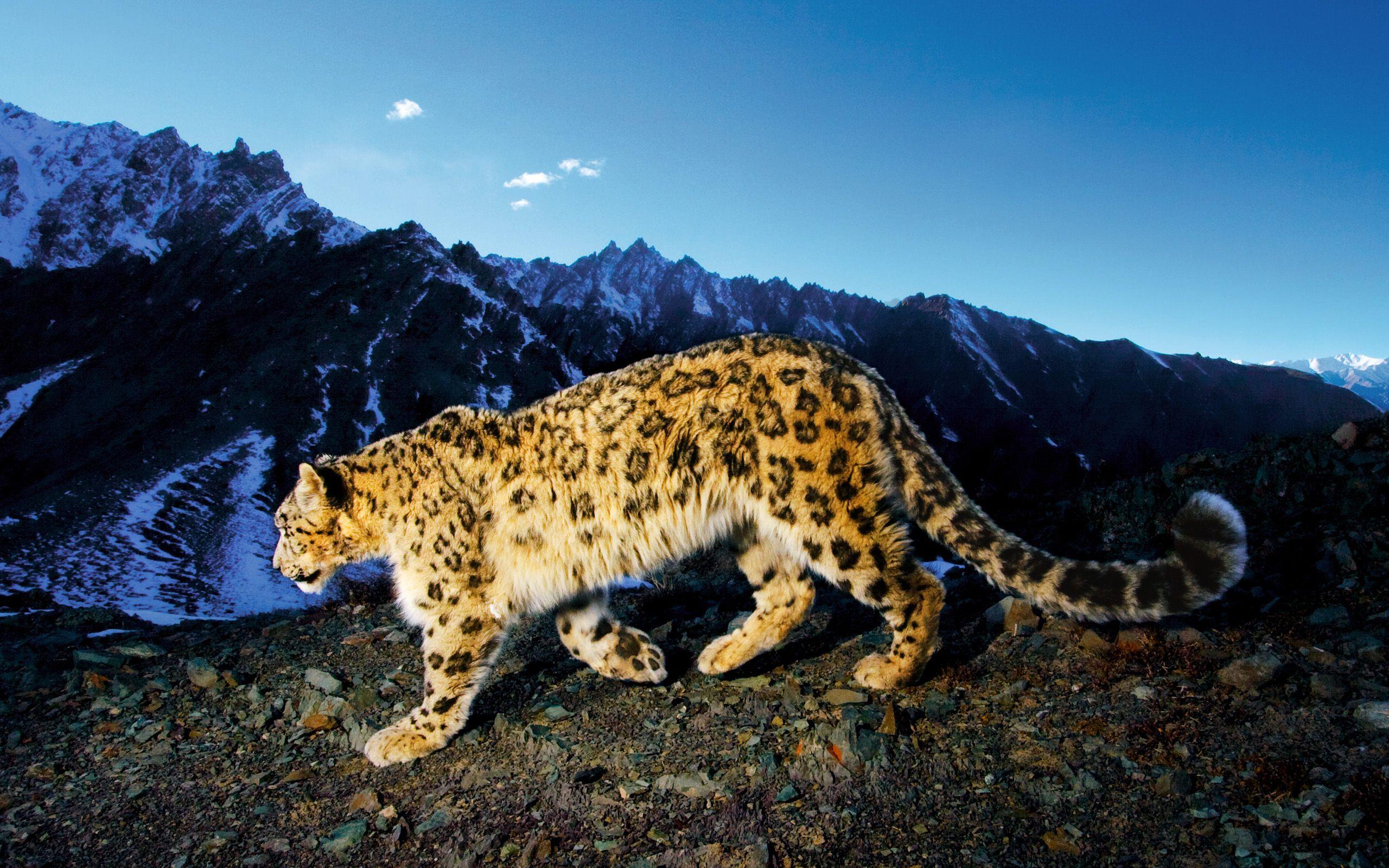 snow leopard desktop pictures | snow leopard, leopards and snow
