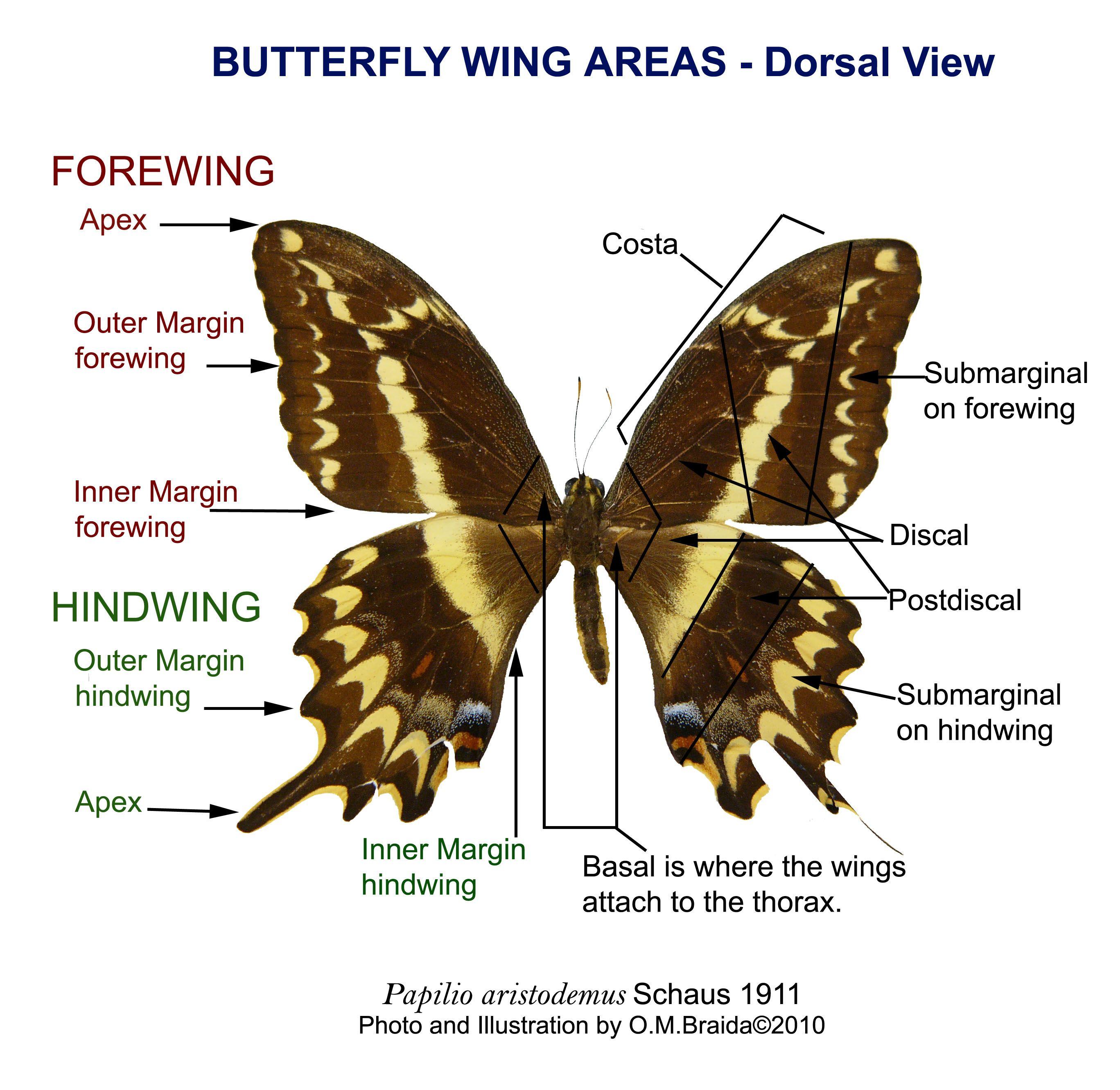 Butterfly Wing Labels Myartteacher Wp