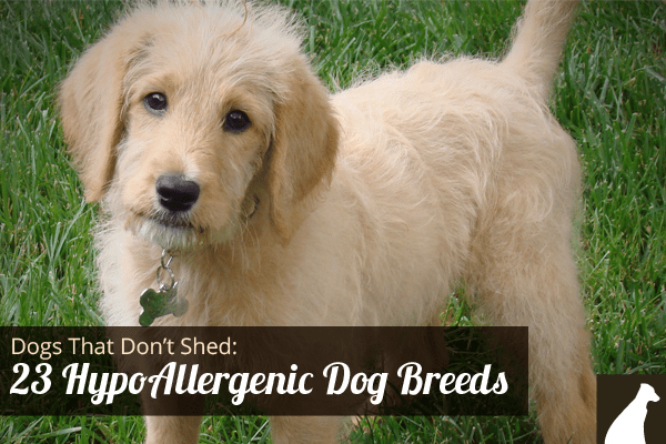Goodbye Hair! 23 Dogs That Don't Shed Hypoallergenic Dog