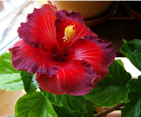 The red hibiscus is the flower of the Hindu goddess Kali