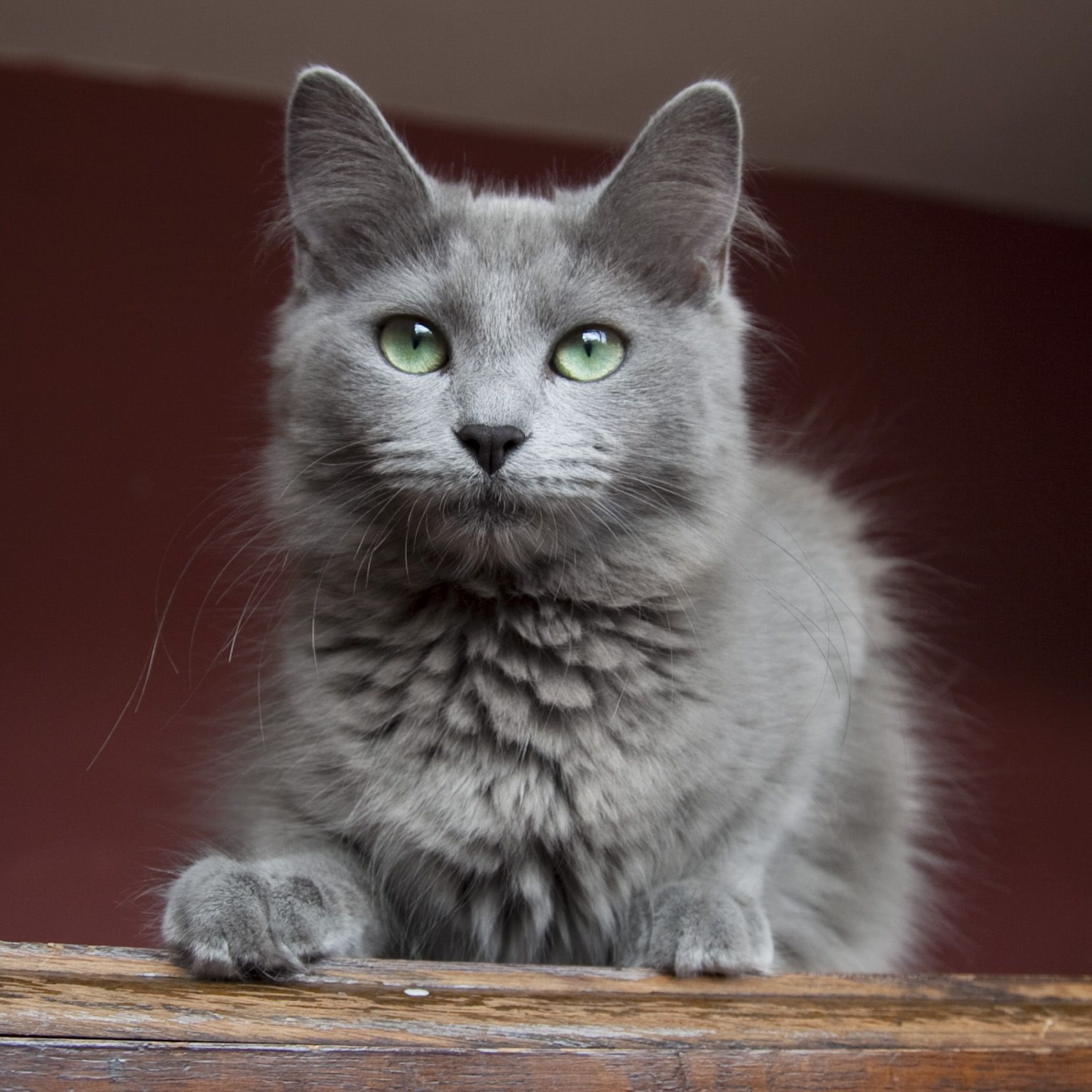 Nebelung kitty. My family actually owns one, but they're a