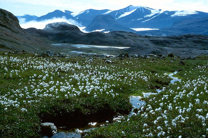 pictures of the arctic tundra Lush tundra vegetation