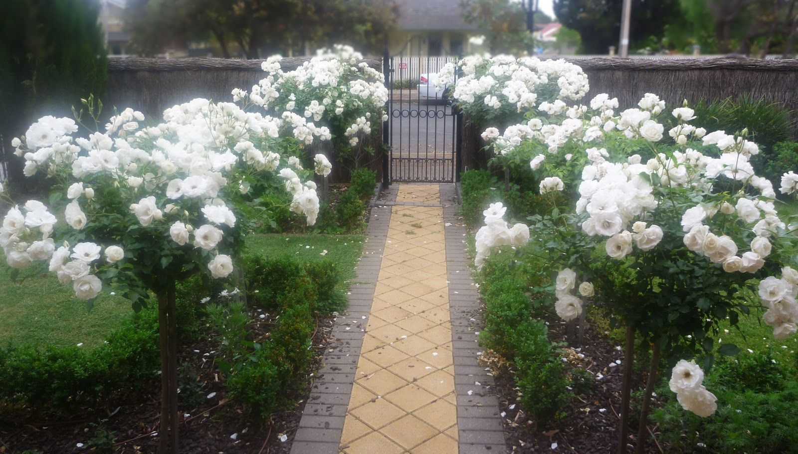 standard rose 'iceburg' this white blooming variety stays