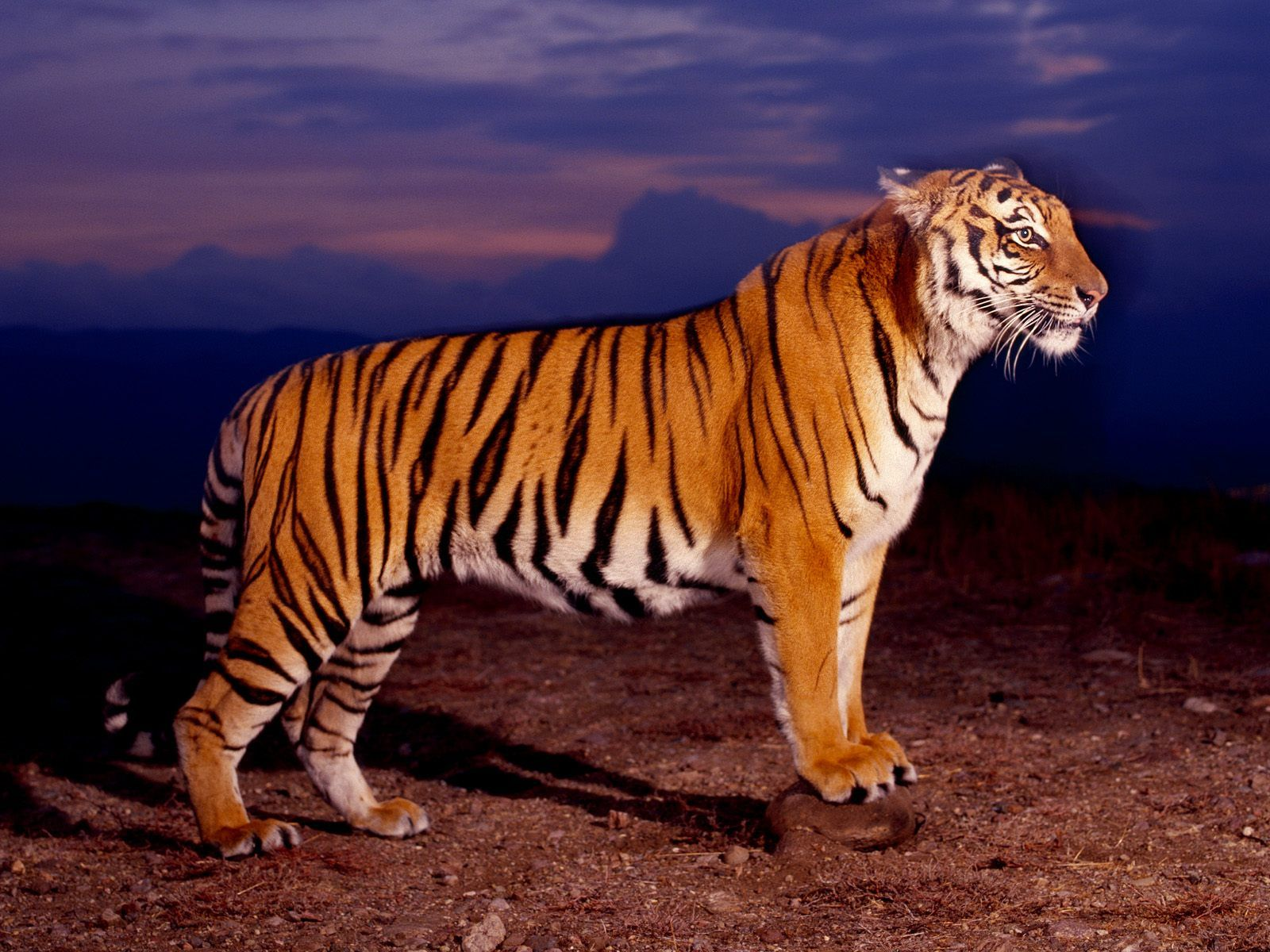Tiger standing and ready to attack wallpaper Tigers