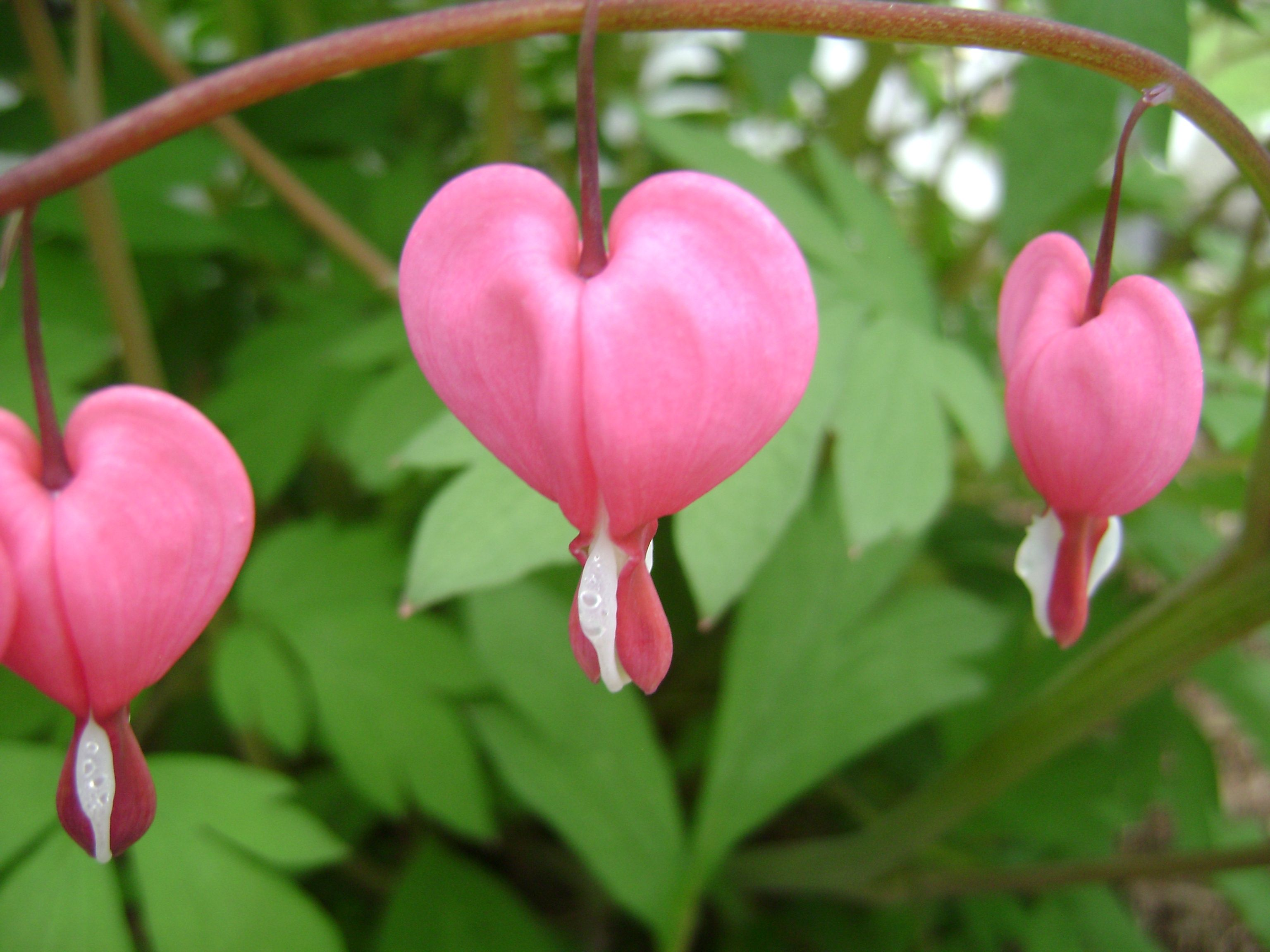 Bleeding Heart Flower perennial herbaceous plants in the