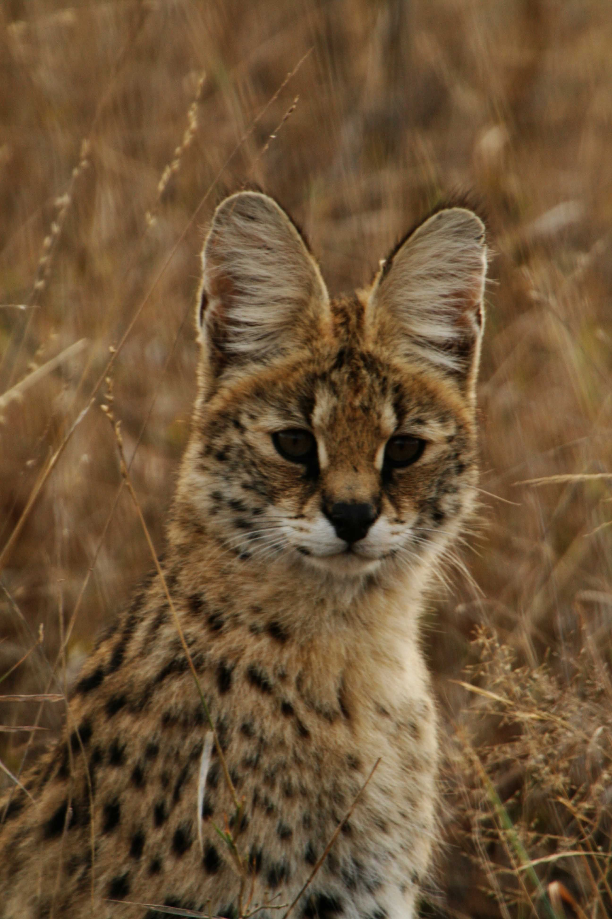 Known in Afrikaans as the Tierboskat, or tiger forest cat