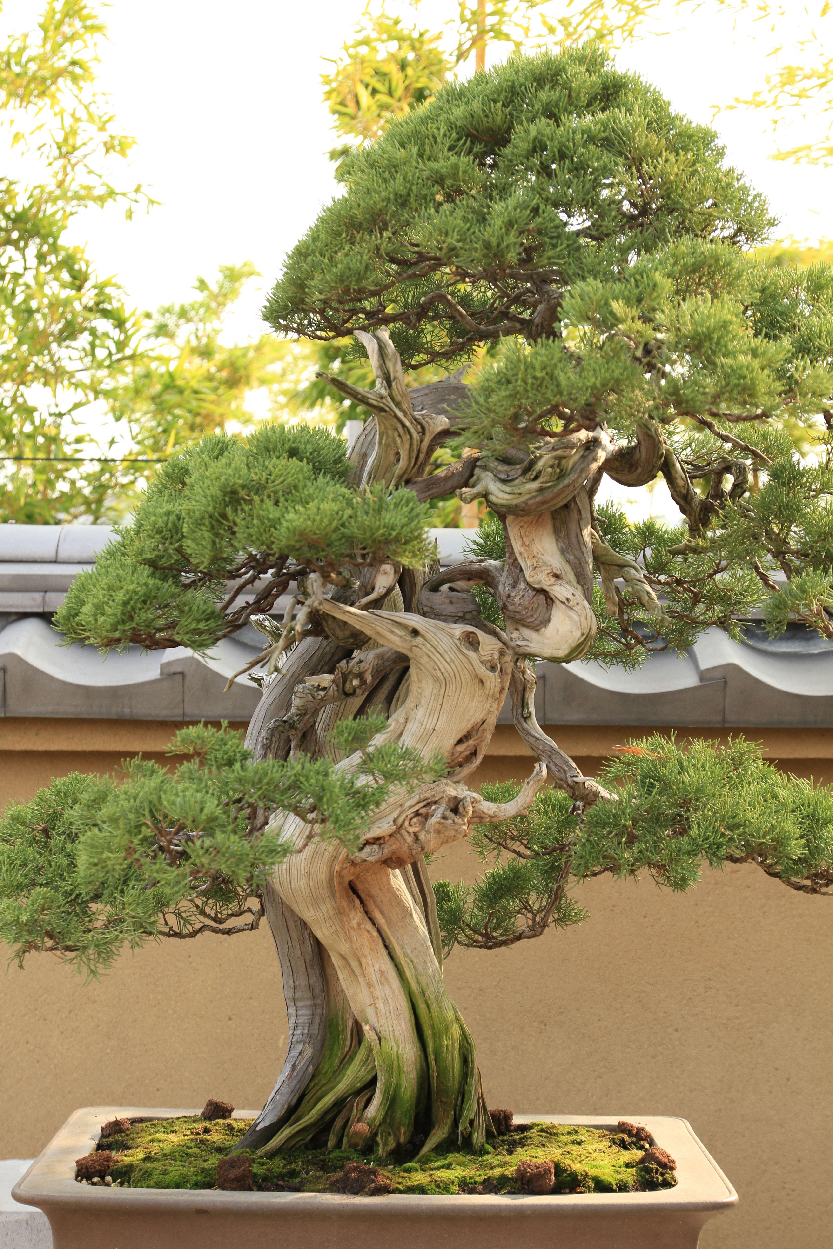 真柏 Shimpaku (Japanese Juniper) 盆栽美術館 bonsai museum