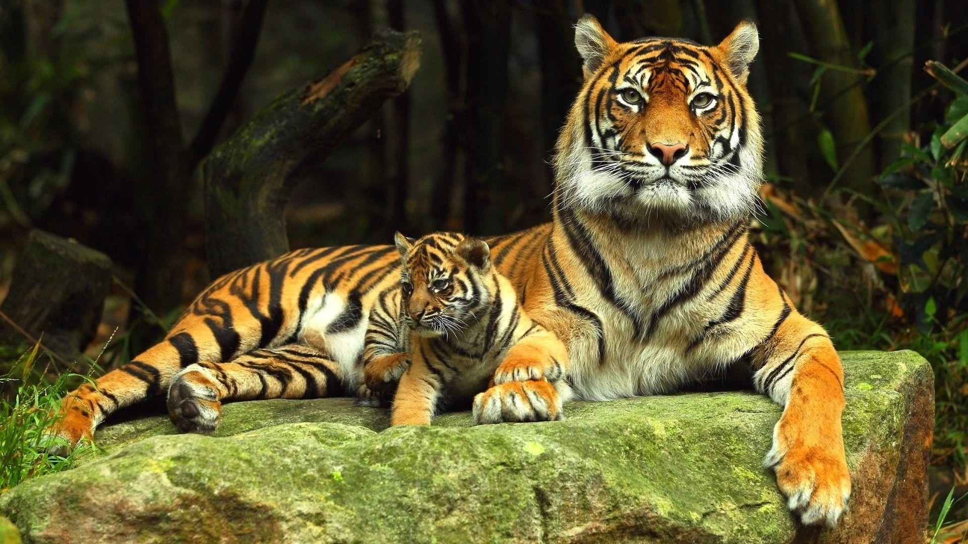 tiger desktop backgrounds | animals art | pinterest | animal