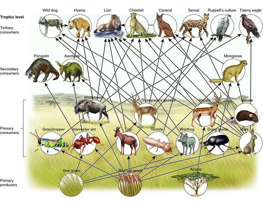 food chain grassland Google Search Biome Unit Study