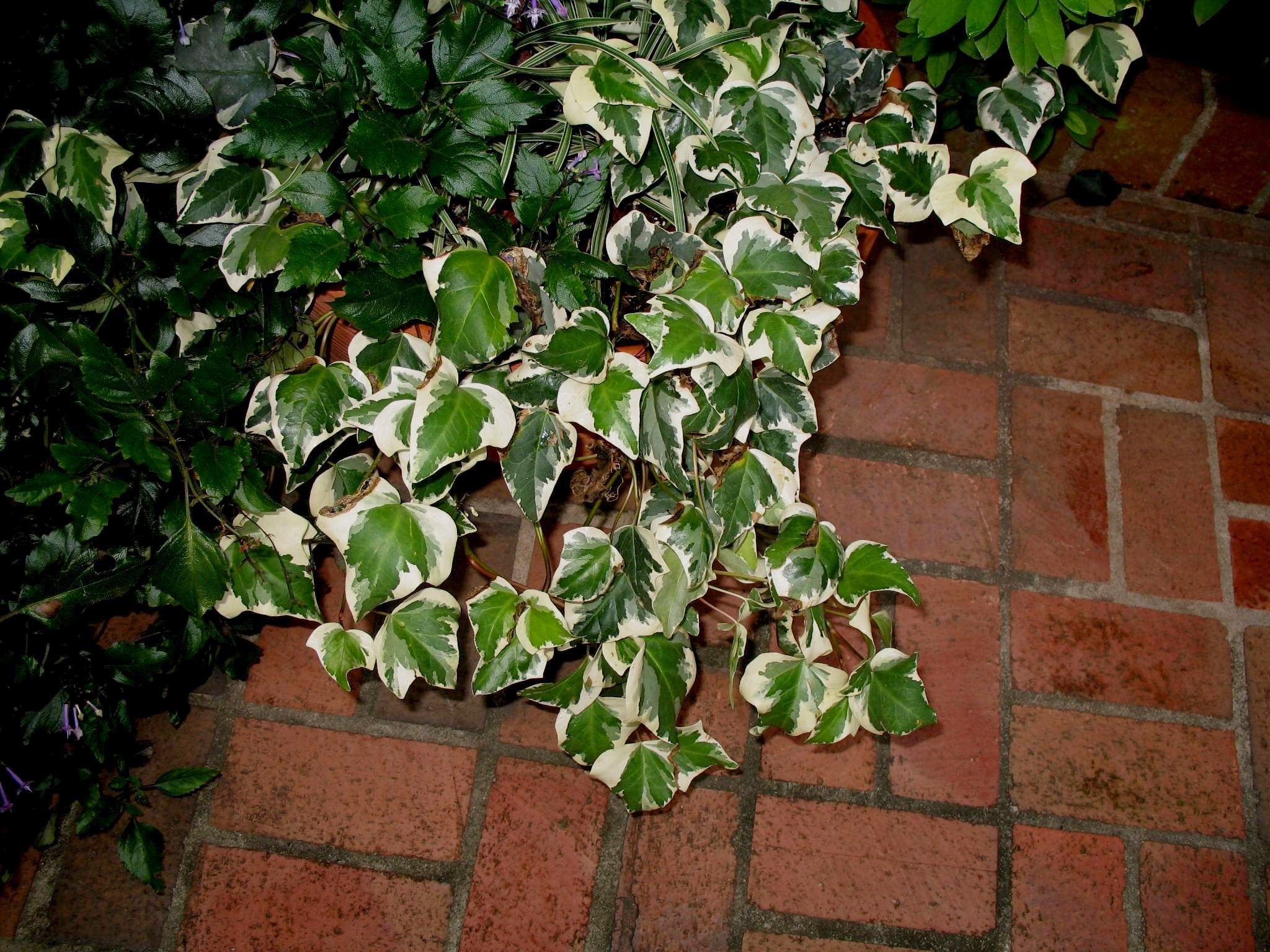 variegated English ivy Window Box Pinterest Hedera helix