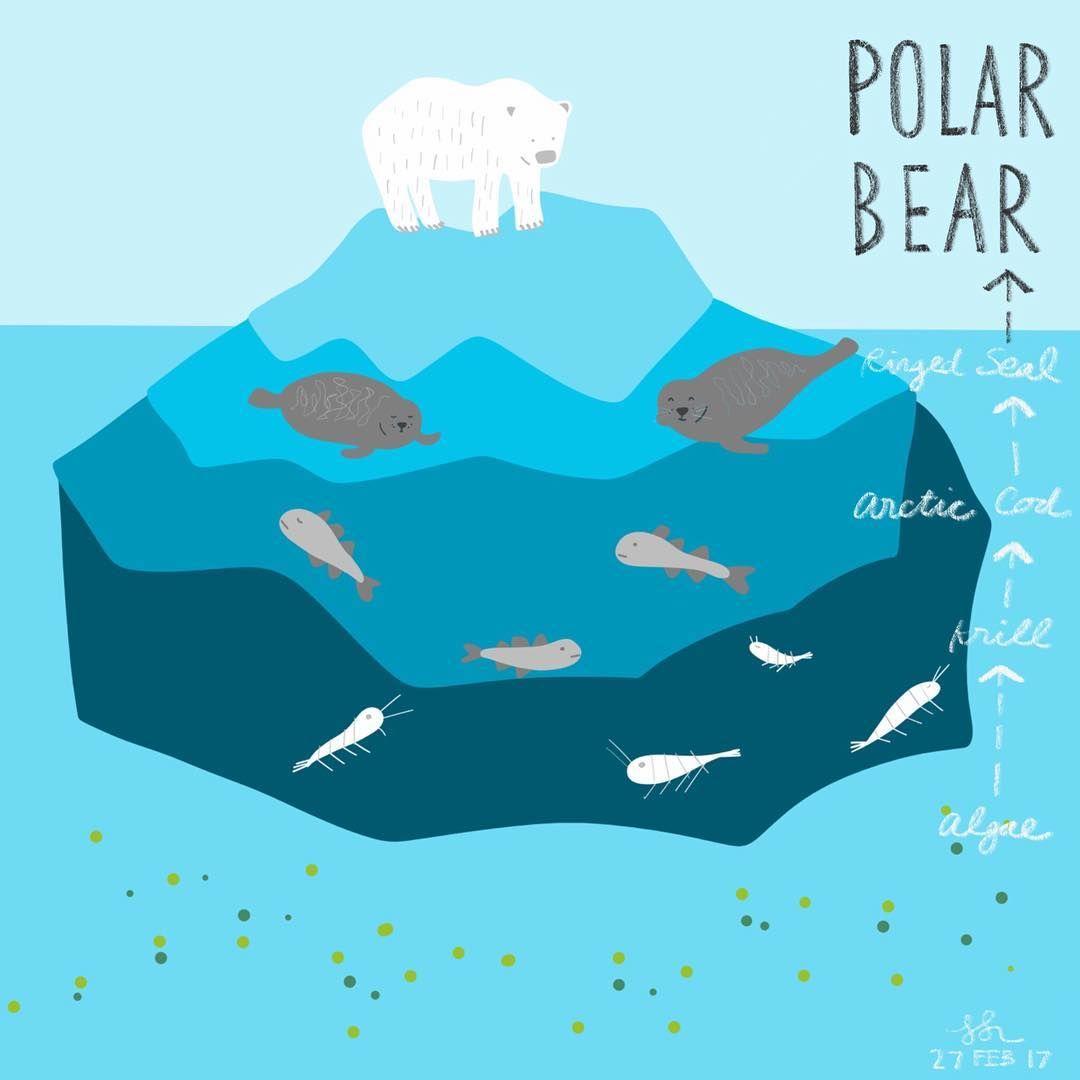 Polar Bear Food Chain Ks1