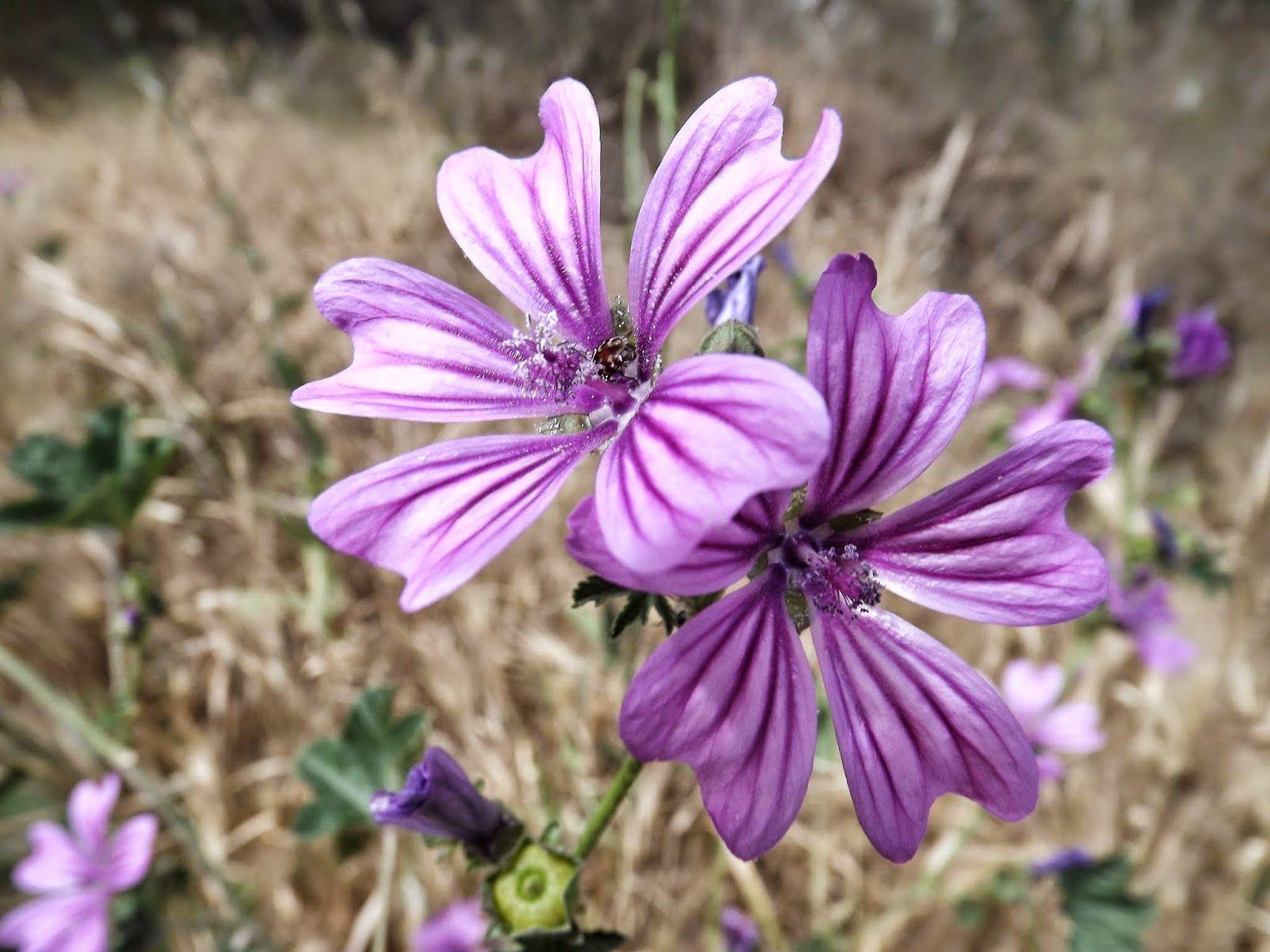Flowers names medicinal wildflowers malva Wild Flowers