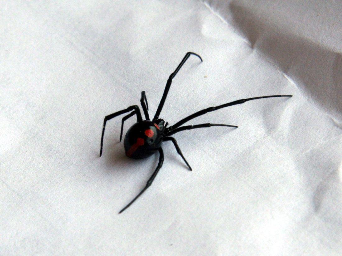 how to kill a false black widow spider