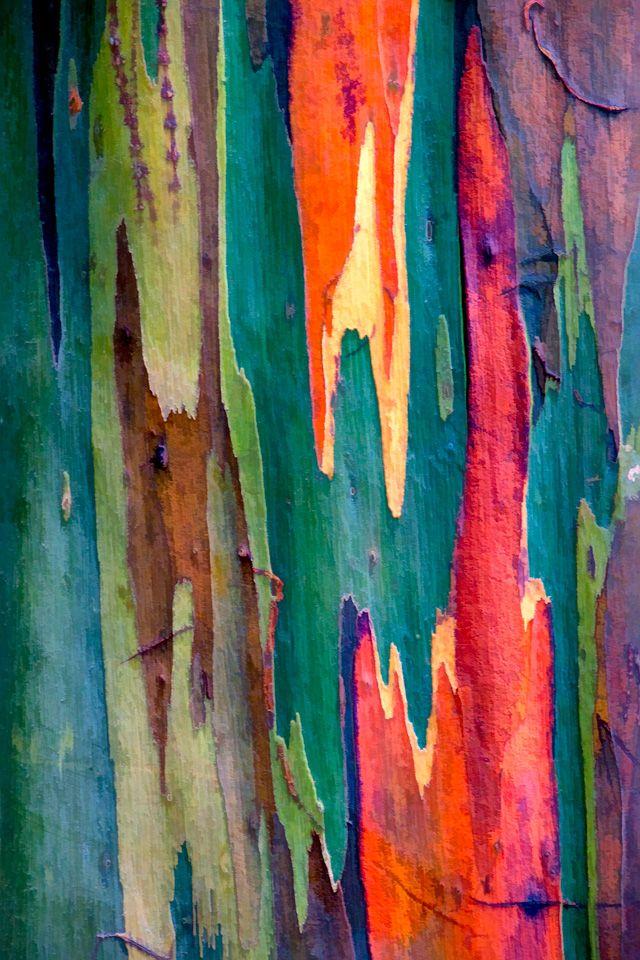 rainbow eucalyptus tree the bark naturally turns all