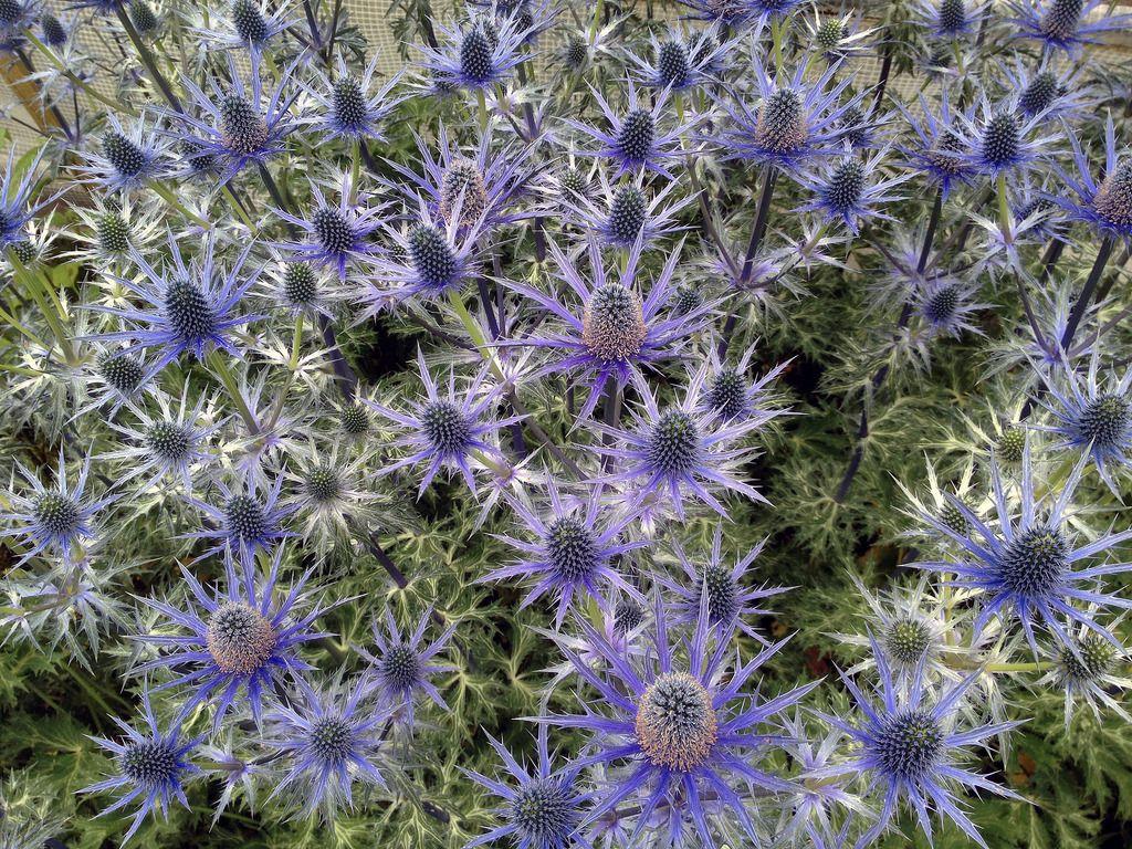 Eryngium x zabelii 'Big Blue' Sea holly Gardens