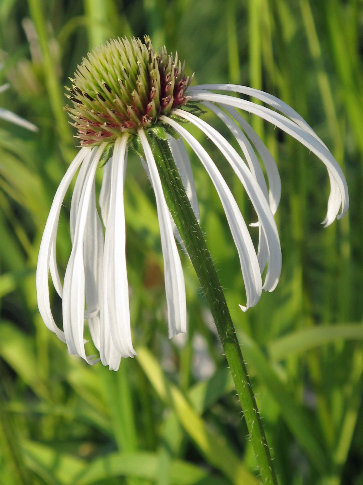 Echinacea pallida 'Hula Dancer' I am in love with this