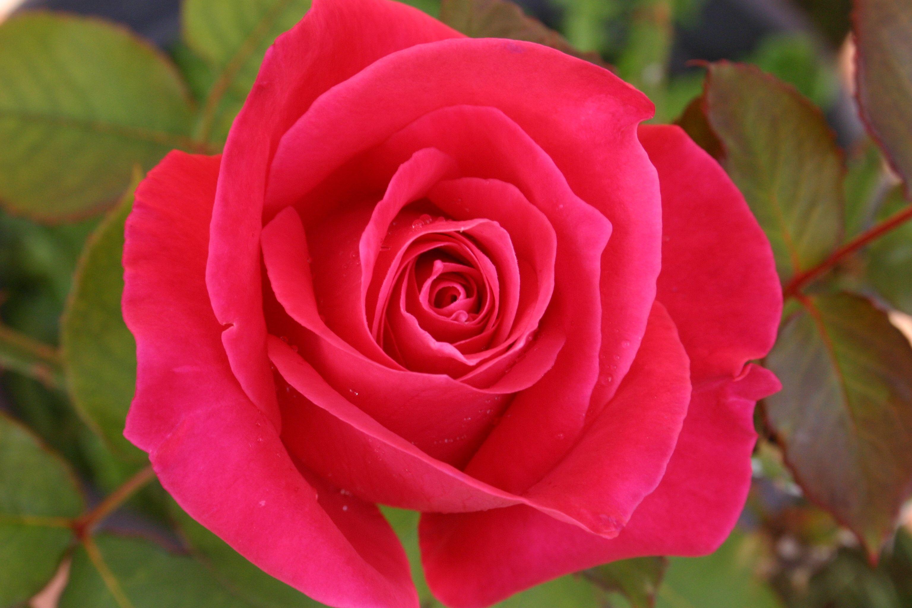 beautifulhotpinkredrose Fleur Pinterest