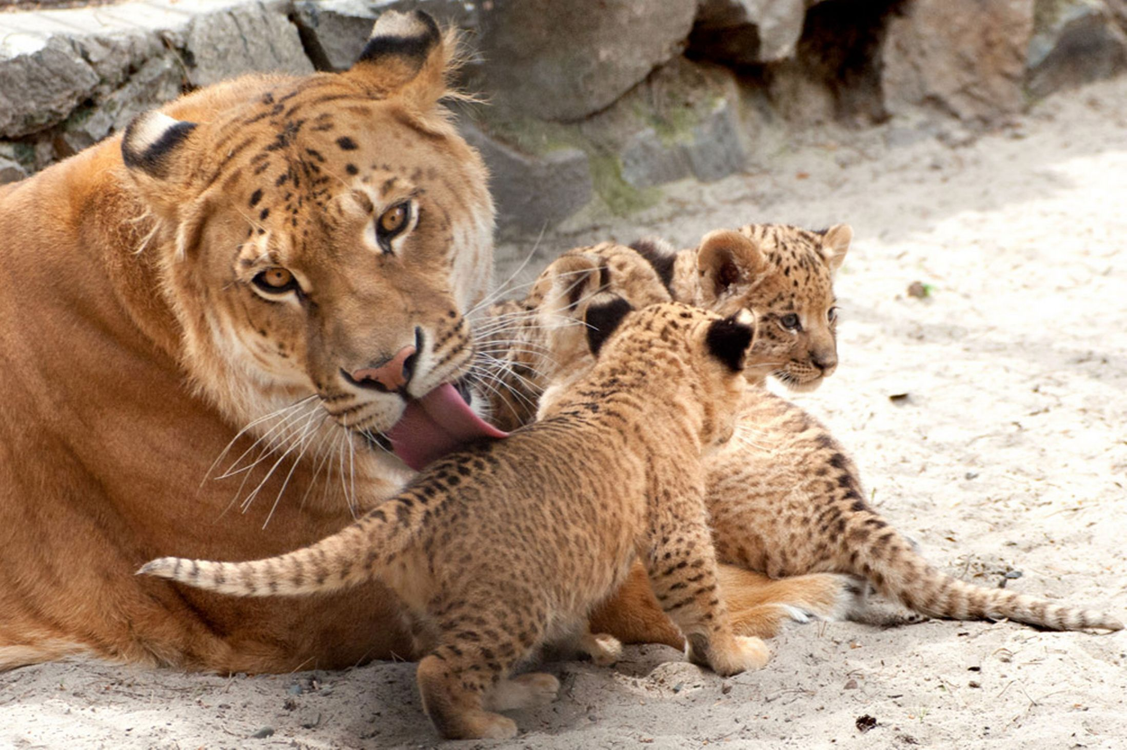 Rare liliger cubs mane attraction at a Russian zoo