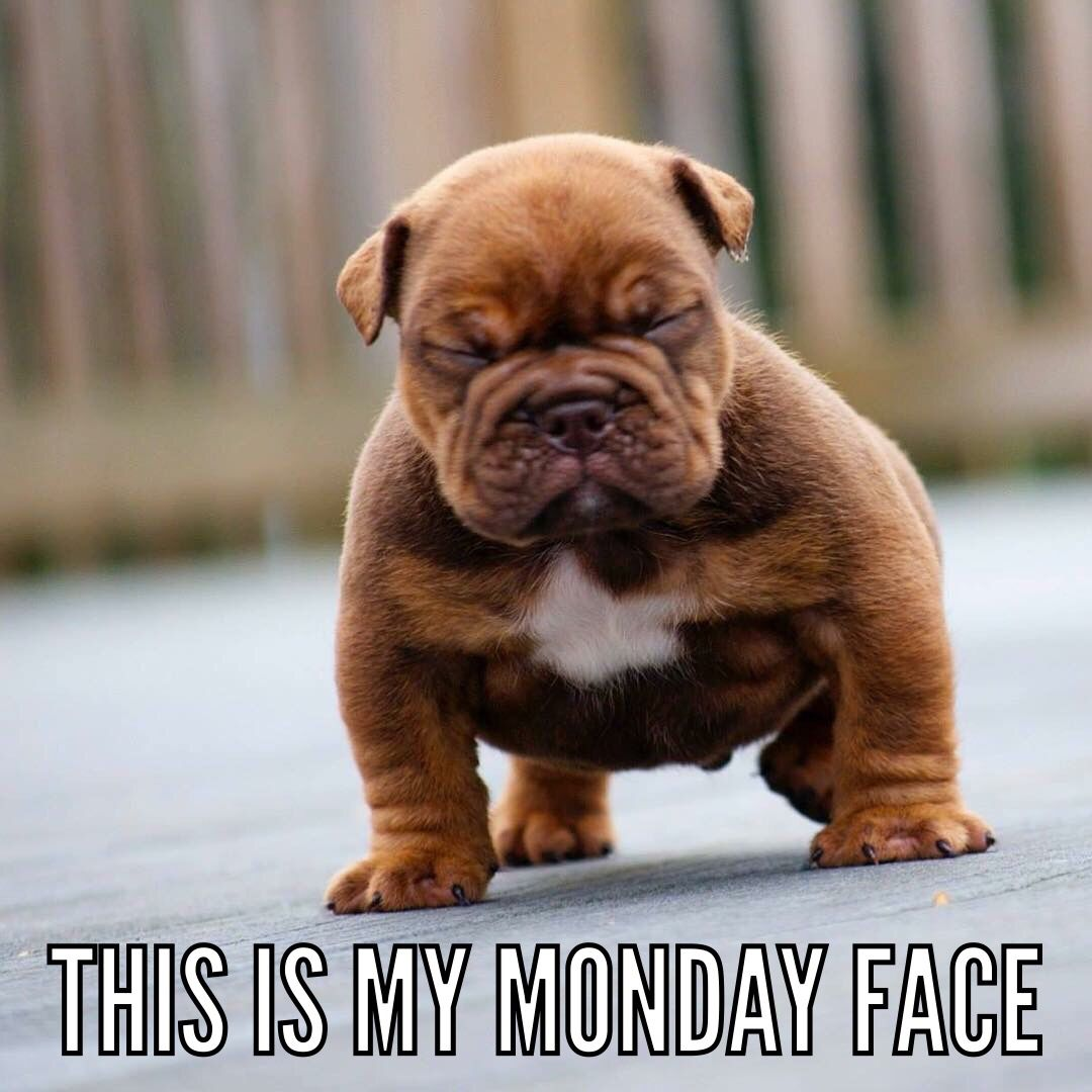Monday face. English bulldog puppy. puppied Pinterest