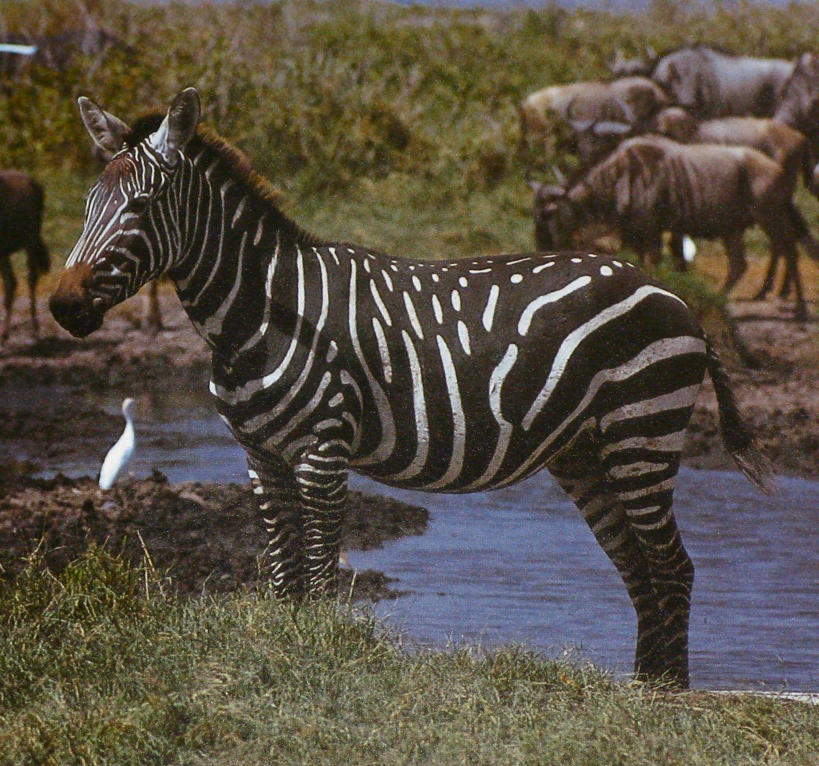 Sometimes, zebras are born with some strange stripe