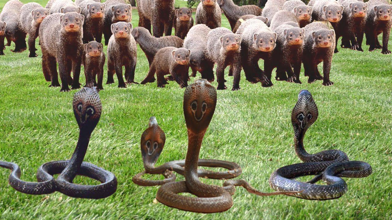 Snake vs Mongoose Snake vs Mongoose Real Fight HD Ý