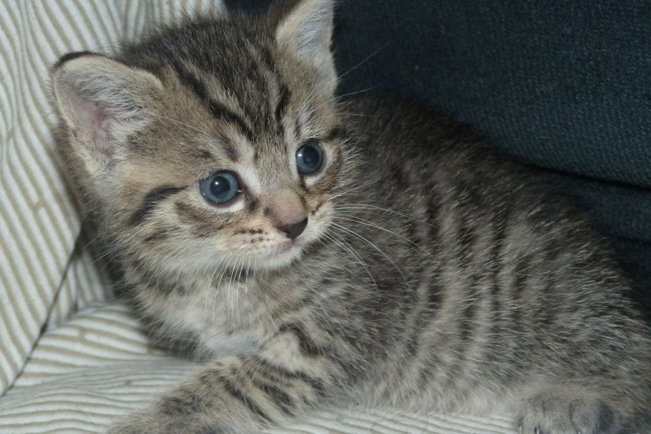 Brown Tabby Kitten Adorable Grey/Brown Stripy Tabby