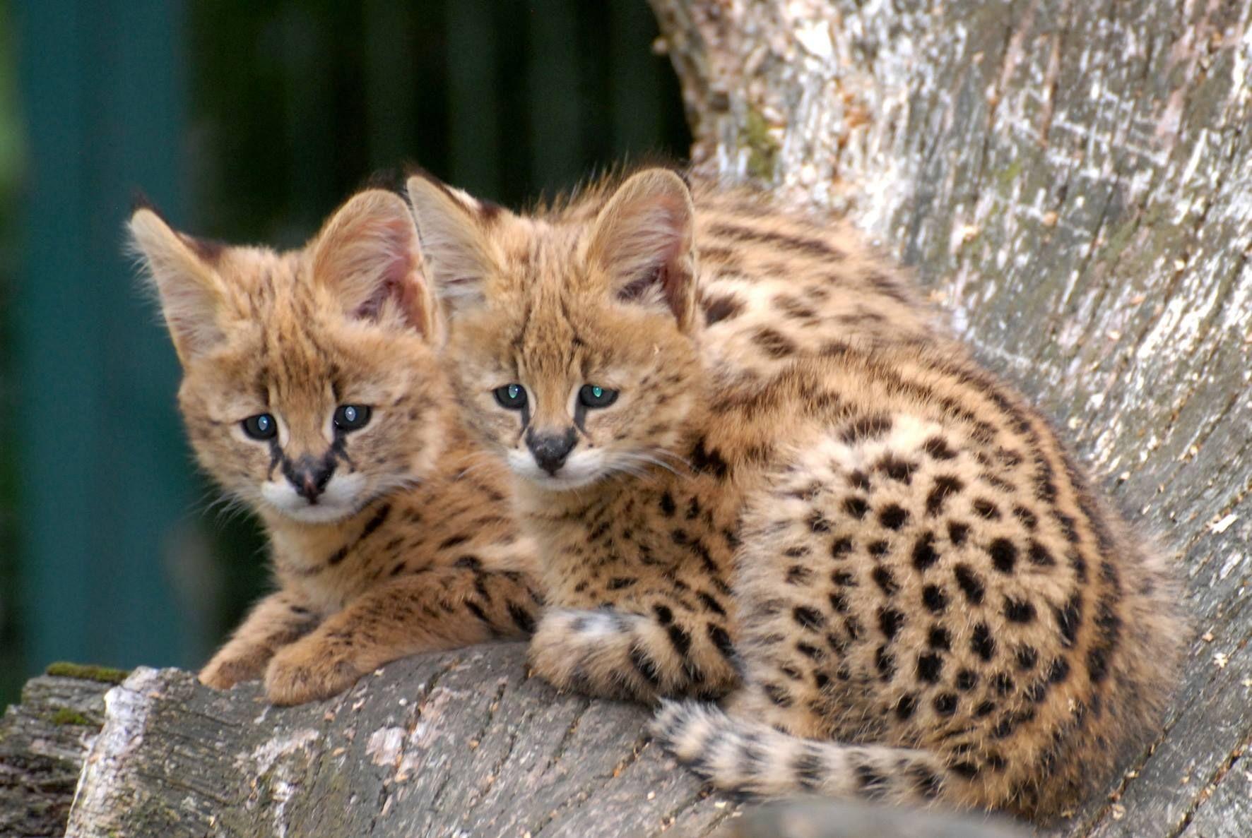 Wild Spirits of Nature Serval Terrestrial Pinterest