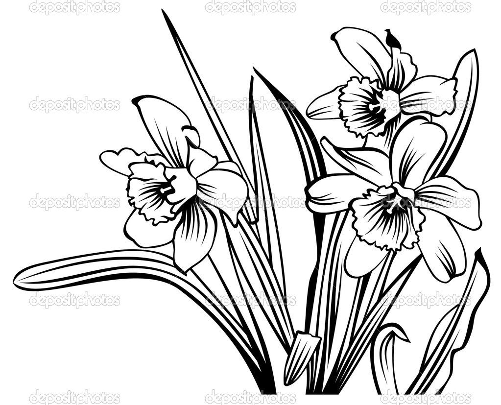 Images For > Narcissus Flower Drawing art show