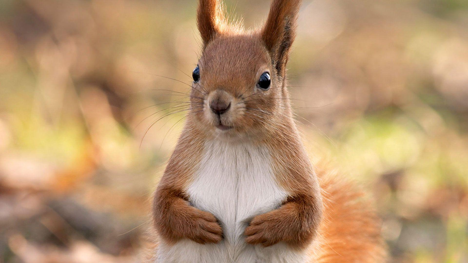 hd pics photos cute squirrel best attractive brown hd