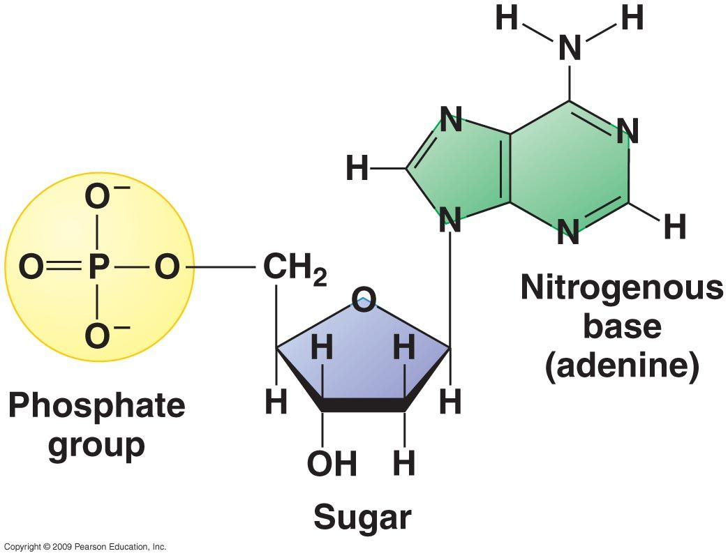 Nucleotide A Building Block Of Dna Consisting Of Five