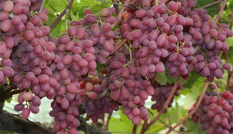 Image result for crimson grapes
