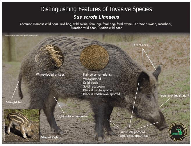 wild+pig.png (657×502) c&s of lang Pigs unit Pinterest