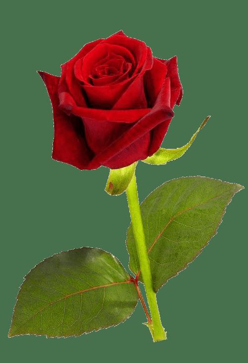 Single red Rose transparent image 1 Pinterest Single