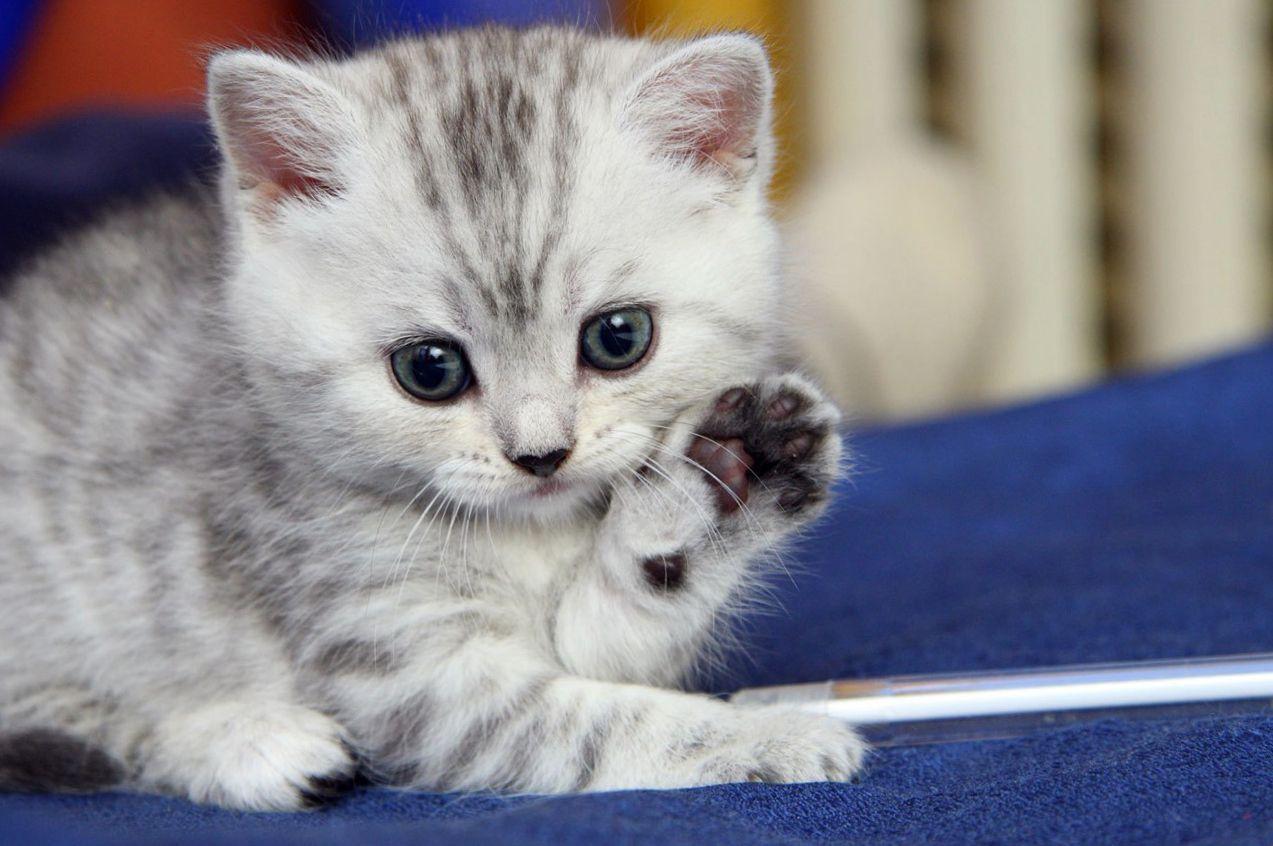 Cute Cat Wallpaper 1273×846 Pics Of Cute Cats Wallpapers