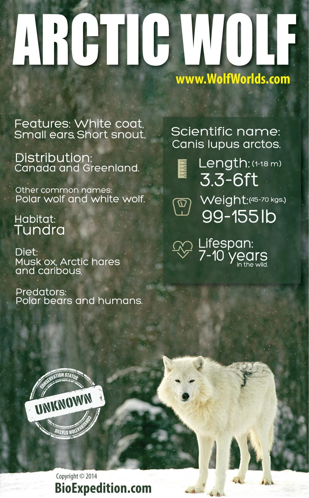 Arctic Wolf Infographic Animal Facts and Information