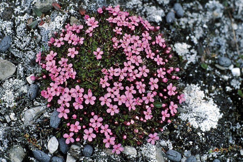tundra plants antarctic tundra plants biome Images