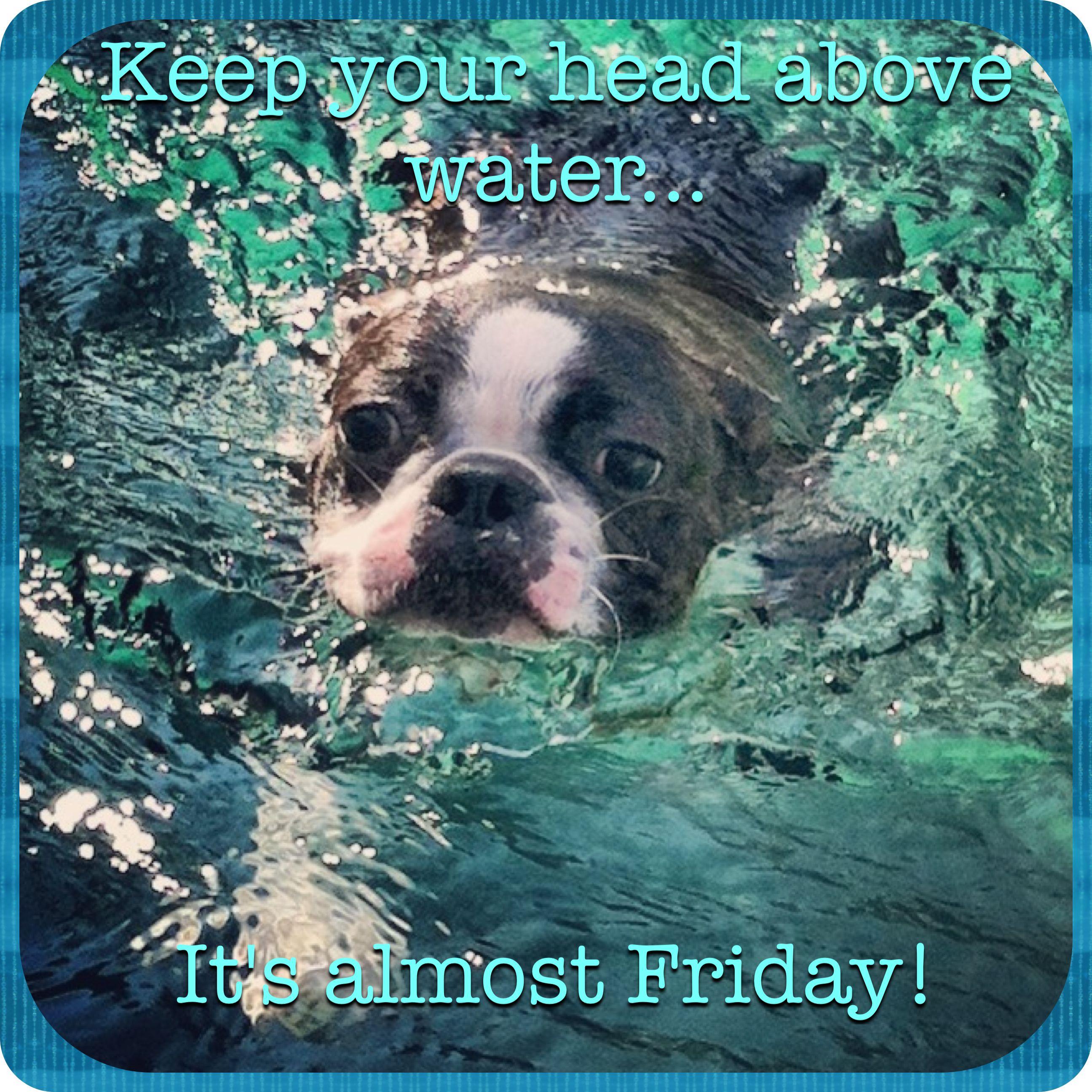 "Boston Terrier Meme ""It's almost Friday !"""
