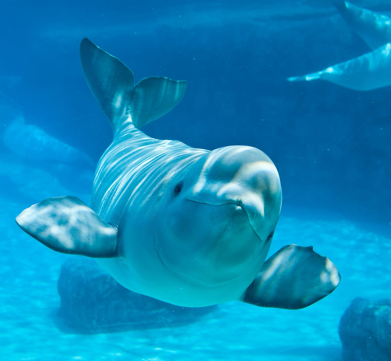 Pics Photos Cute Beluga Whale Pictures The Blue Beyond