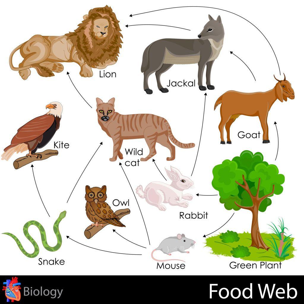 Food Web Web animal, Food webs and Food chains