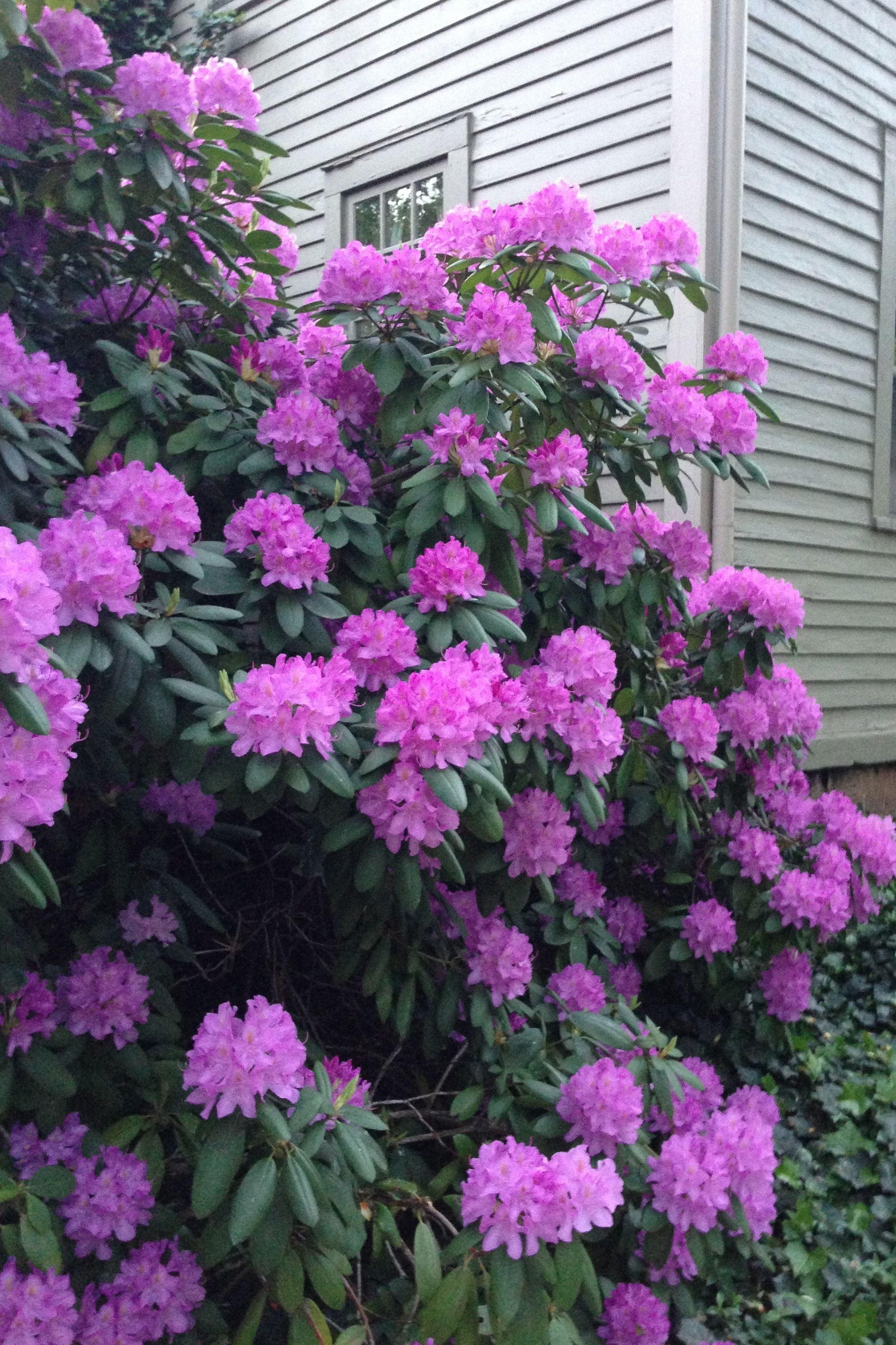 rhododendron just purchased 4 of these at a nursery plant