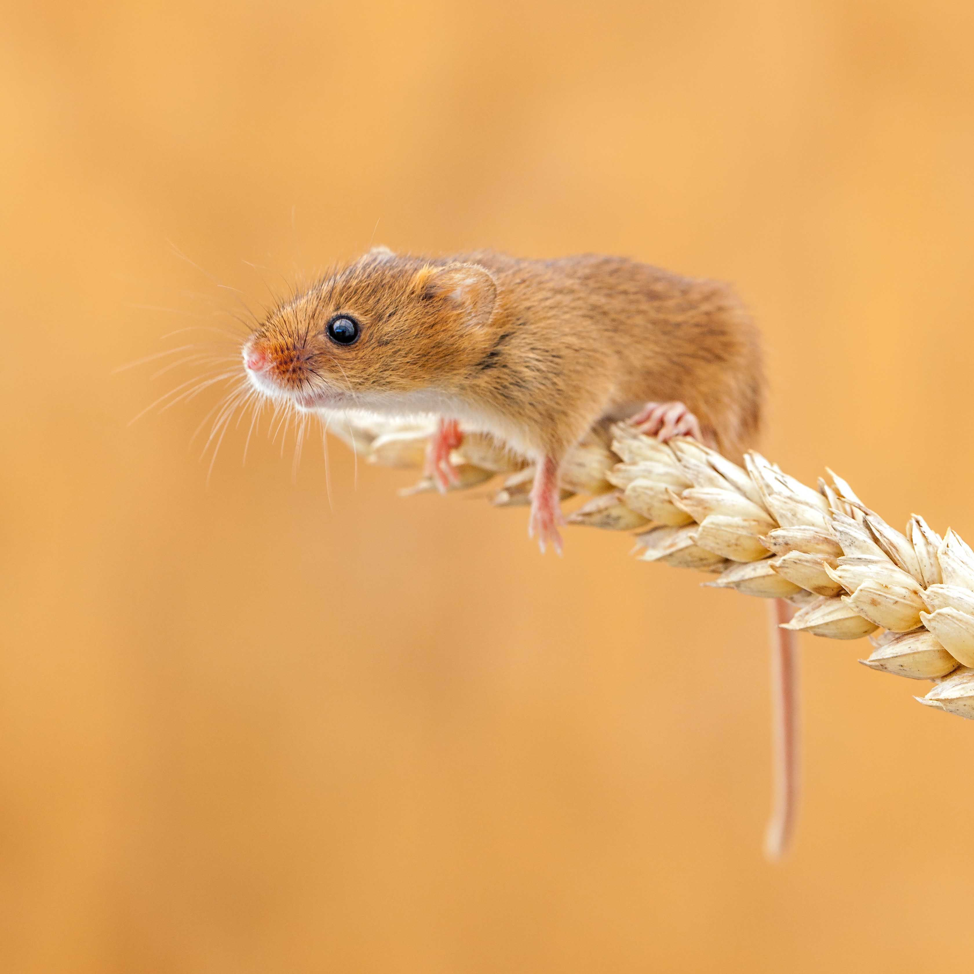 Cute mouse, field mouse, mouse and wheat, English mouse