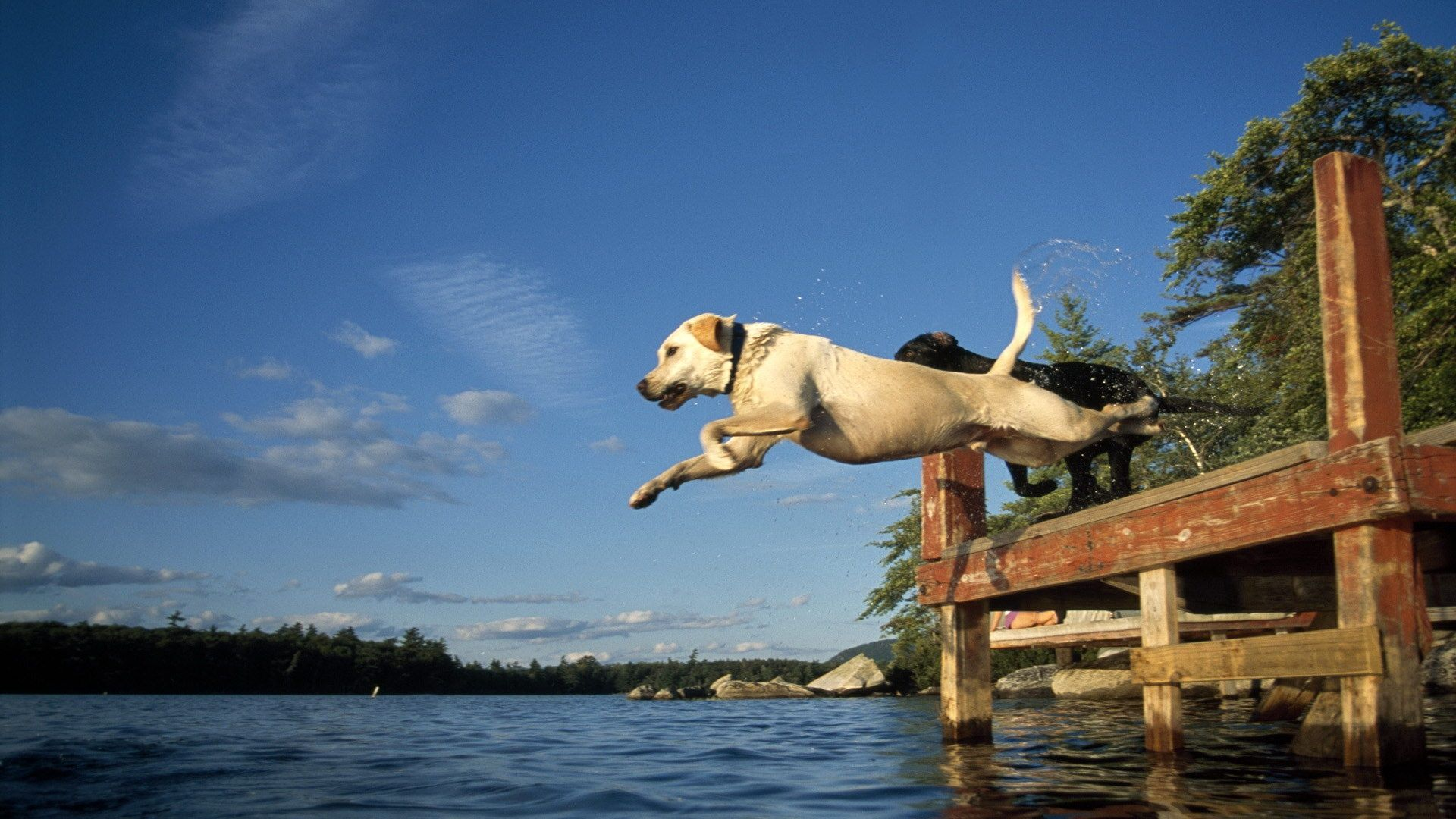 Dog Jumping Into Lake 1920 X 1080 Download Close colin