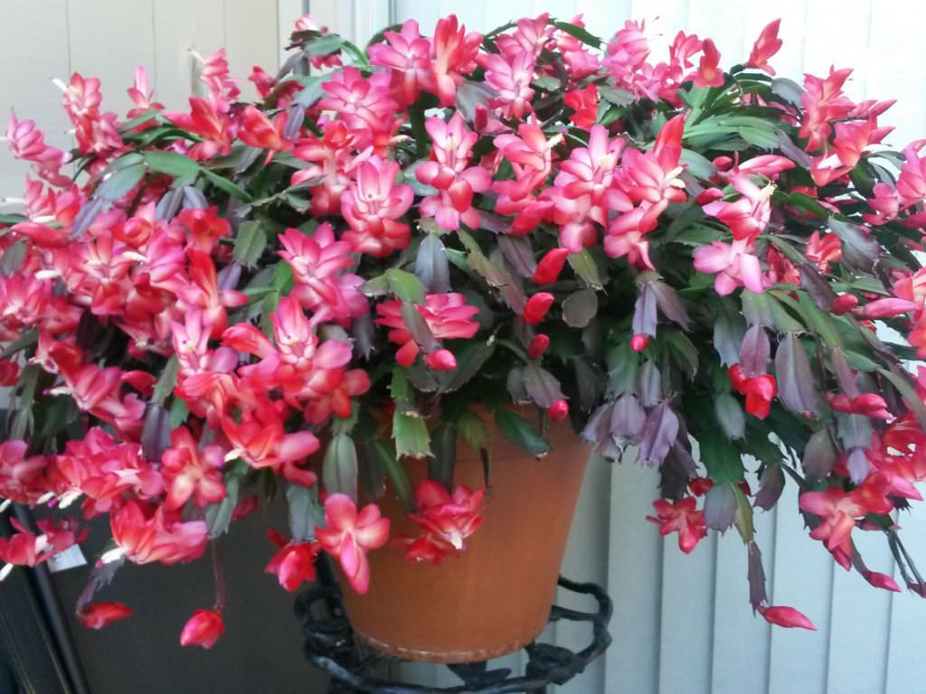 Christmas Cactus Confusion Every year about this time