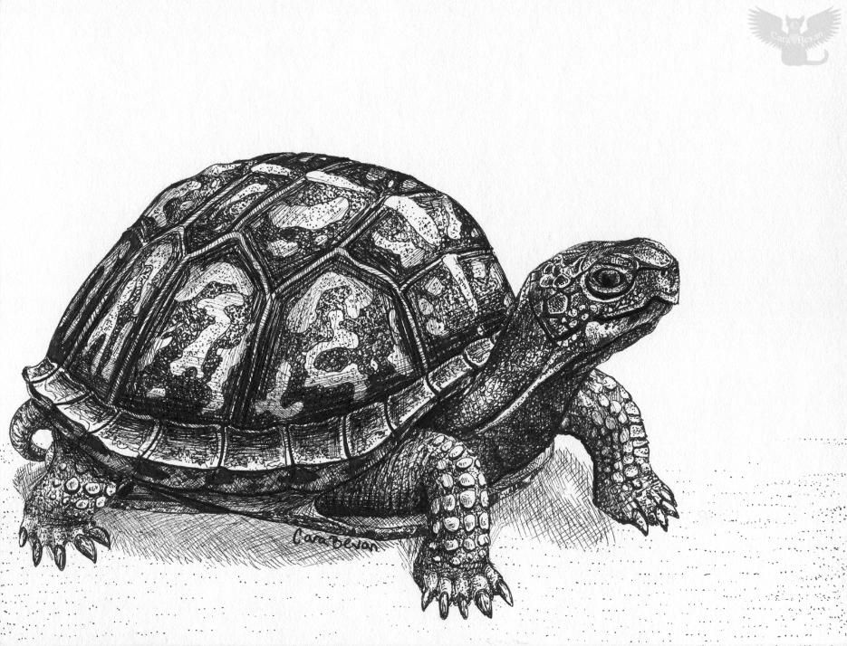 Eastern Box Turtle by Cara Bevan/Art from the Heart