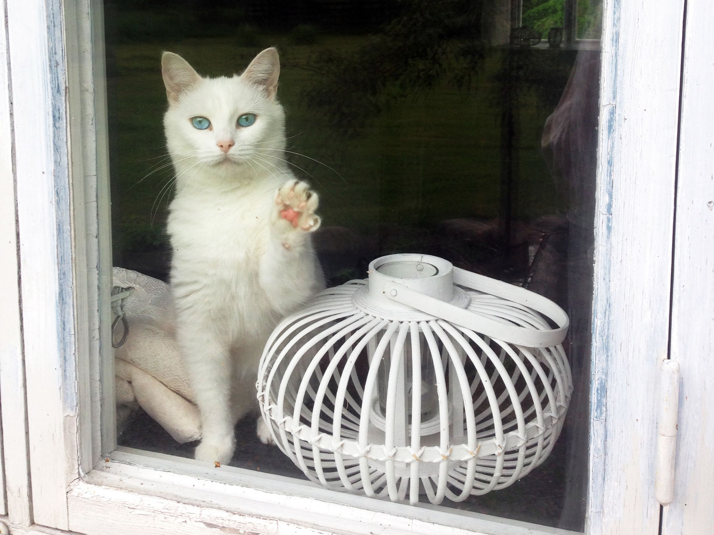 Just my deaf cat waving me goodbye in the morning White
