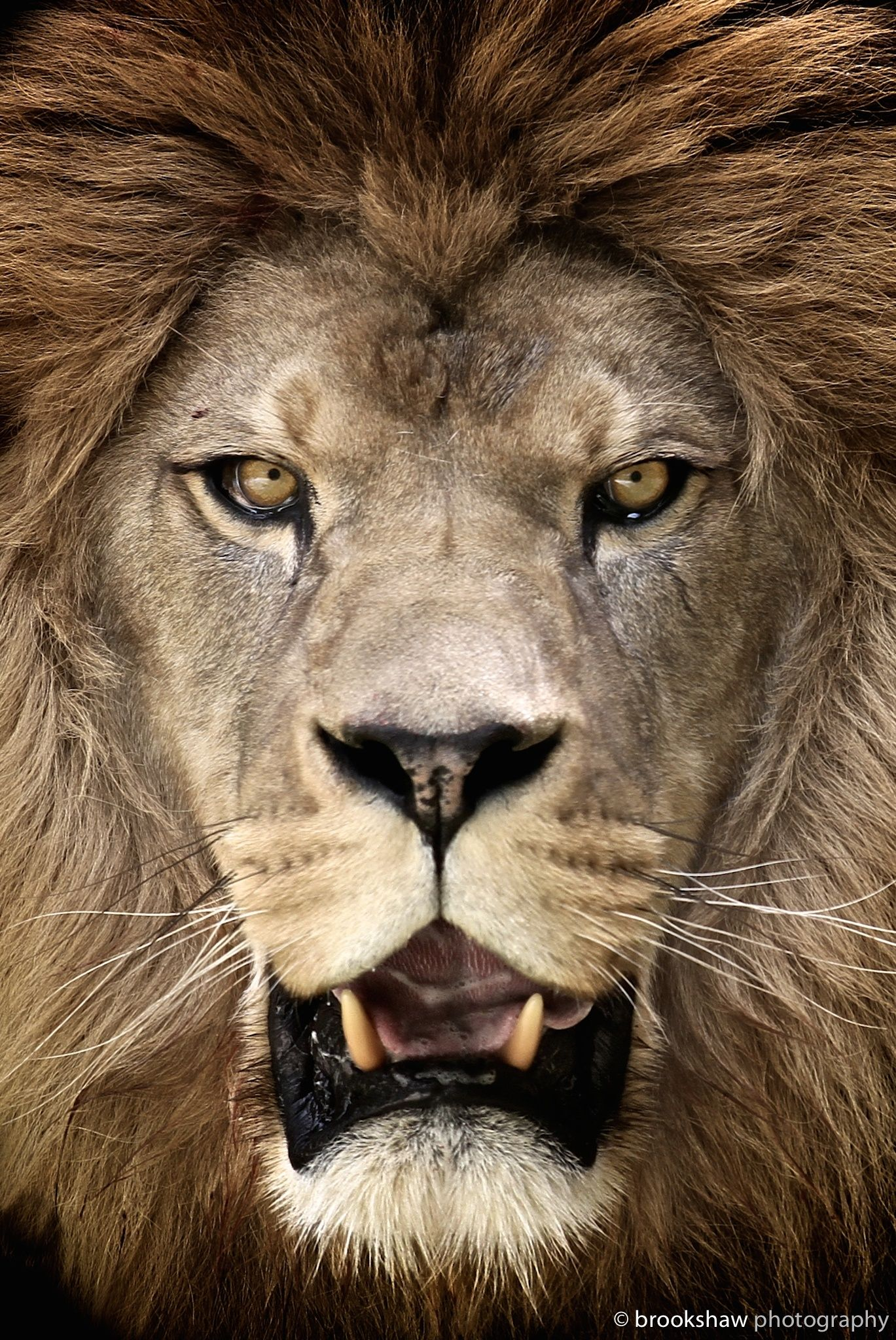 Milo • Barbary Lion, this subspecies of lion is extinct