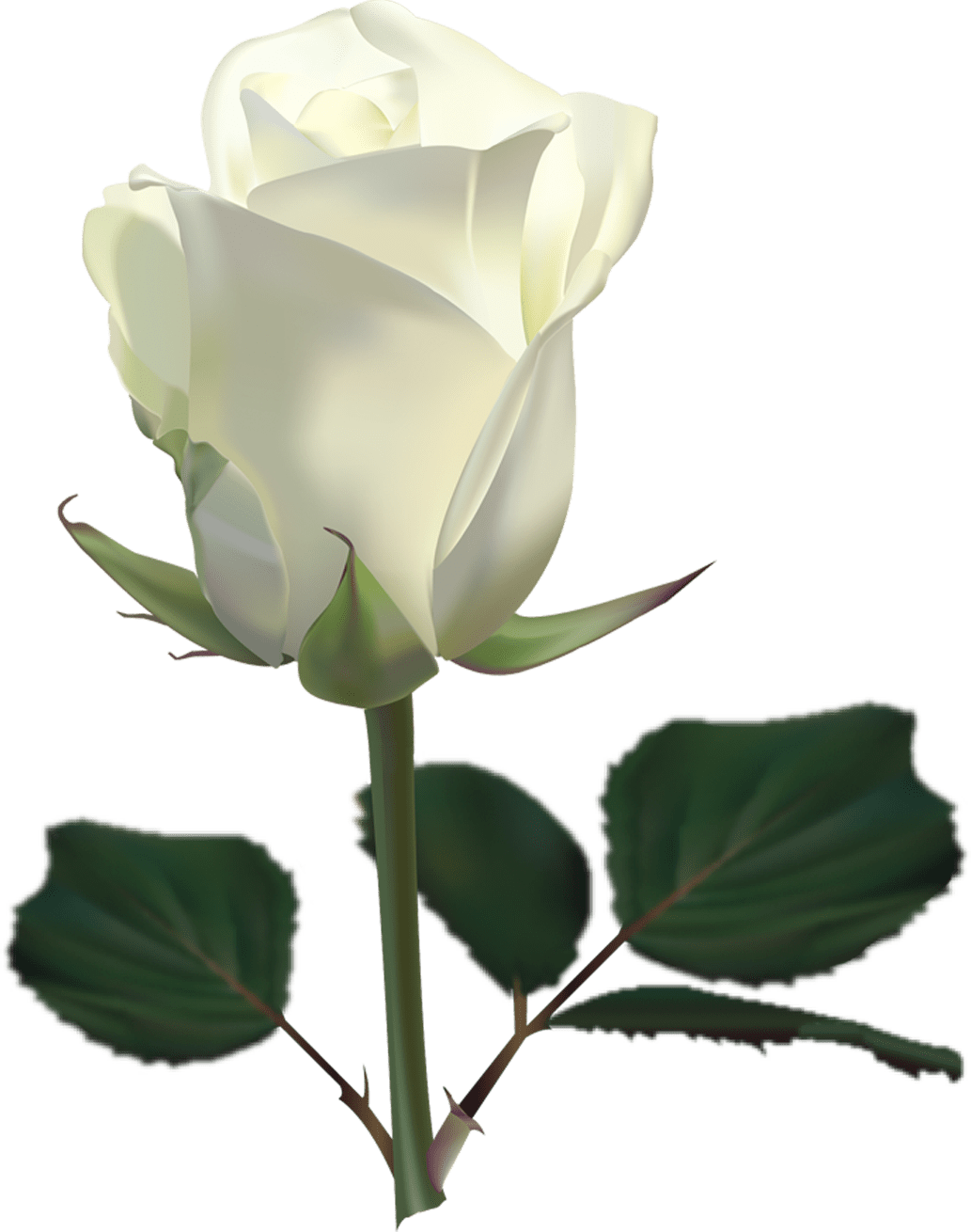 White roses PNG images, free download flower pixtures. And