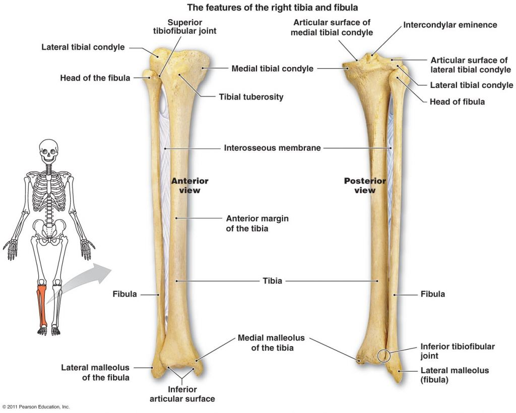 Tibia Fibula Anatomy Tibia And Fibula Diagram Anatomy 1 Pinterest