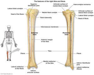 Tibia Fibula Anatomy Tibia And Fibula Diagram Google
