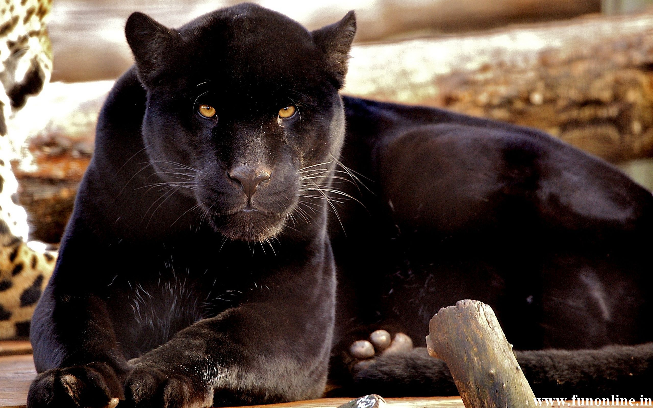 Panther Wallpapers, Download Free Black Panthers HD